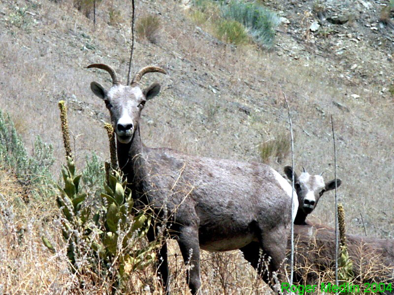 Mountain Sheep Burnt River Oregon